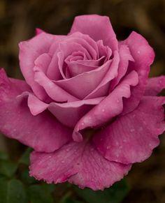 Go Back > Gallery For > <b>Purple</b> Hybrid <b>Tea</b> Roses