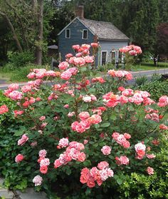 "Here is a very easy rose to grow. Carefree ""Celebration"", shown in my front yard after two growing seasons. Love this rose...so hardy, trouble free and blooms on and off all season long."