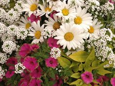 Shasta Daisy 'Daisy Mae' is mixed with Snow Princess lobularia, Sweet Caroline Light Green Ipomoea & Supertunia Picasso in Pink!!