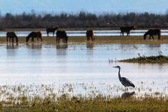 حواسیل خاکستری Anzali Lagoon - Lagoon in Anzali, Gīlān تالاب انزلی