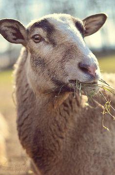 Sheep #Animals #Farm