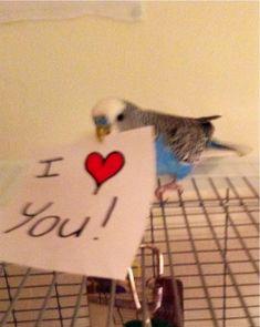 My parakeet talking Budgie Parakeet, Cockatiel, Budgies, Parrots, Funny Birds, Cute Birds, Funny Cats, Cute Love Memes, Hilarious Animals