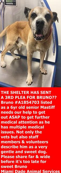 Sweet Bruno A1854703 has multiple medical issues and needs rescue PRIOR to 6:30 PM TODAY 3/17/17 ‼️ —: Miami Dade Animal Services Pet Adoption and Protection Center. https://www.facebook.com/urgentdogsofmiami/photos/a.477521308948944.116125.191859757515102/1495437880490610/?type=3&theater
