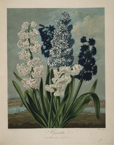 hyacinths - http://biodiversitylibrary.org/item/32#page/168/mode/1up