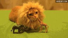 This is a lion making a kill in the wild.
