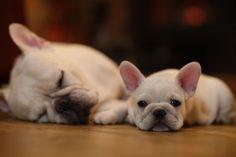 フレンチブル, French Bulldogs