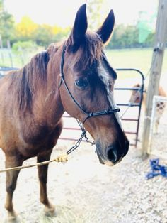 Meet Traveler! This boy has such a sweet face. He is very calm. He is able to ride western, English or even bareback. We take him in the woods and on our trails and he does great. He has not had many opportunities to trail ride other places but I'm sure will do just fine. He rides up and down our road that has cars, dogs, and other animals with no problem.