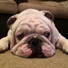 The easy life #englishbulldog #igbulldogs_worldwide #bulldog #bullylife…