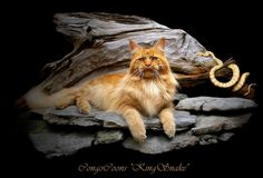 image of a big red tabby maine coon cat laying with a snake
