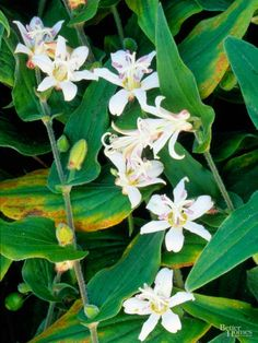 With a name like toad lily, you might not expect much in terms of beauty, but this hardy perennial turns into a prince in the late summer, producing… Shade Flowers, All Flowers, Beautiful Flowers, Impatiens Flowers, Flowers Perennials, Shade Garden Plants, Hosta Plants, Garden Bulbs, Marian Garden