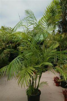 Chamaedorea hooperiana, vivero de plantas