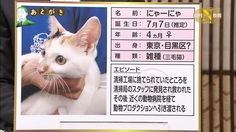 テレ東の政治番組の看板猫、二代目の三毛猫「にゃーにゃ」が可愛いすぎるwwwwwwwwwwwwwwwwwwwwww