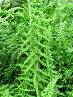 18 tall by 24 inches wide.  Very unique selection of Lady Fern with interesting fronds. The leaflets criss-cross up the frond and the tip is crested.  For