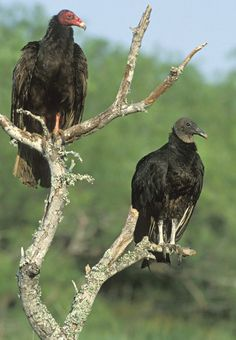 turkey vulture pictures | here shows a Turkey Vulture (left) perched next to a Black Vulture ...