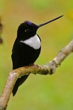 The collared inca is a species of hummingbird found in humid Andean forests from western Venezuela, through Colombia and Ecuador, to Peru and Bolivia. It is very distinctive and unique in having a white chest-patch and white on the tail.