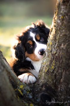 Cute Animals, Dogs, Bernese Dog, Doggies, Pictures, Pretty Animals, Cutest Animals, Pet Dogs, Dog