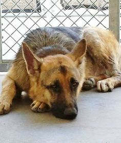 German shepherd named Lucky not so 'lucky' when owners dumped him at shelter