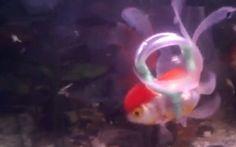 'Life jacket' helps disabled goldfish swim again