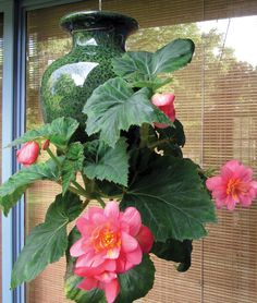 """It's not a basket- it's a """"Down Under"""" pot. This contest winner planted a Begonia in her Down Under Pot. kinsmangarden.org"""