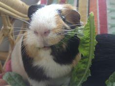 guinea pig looking super happy ^^