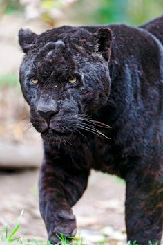 Black panther or black jaguar - Looks like an old warrior from the scars on his face Black Animals, Cute Animals, Black Cats, Wild Animals, Big Cats, Cool Cats, Beautiful Cats, Animals Beautiful, Tigers