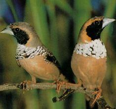 he Pictorella Mannikin or Pictorella Munia (Heteromunia pectoralis) is a species of bird in the family Estrildidae. It belongs to the monotypic genus Heteromunia.[citation needed] It is endemic to Australia.
