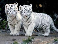 white tiger cubs <3