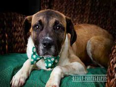 Chase is an eight month old Beagle mix puppy.  He is available at Forsyth County Animal Control in Winston-Salem, NC.  See more info at Project Pearl on Facebook or http://www.co.forsyth.nc.us/animalcontrol/  Please adopt a shelter pet! #adopt #pet
