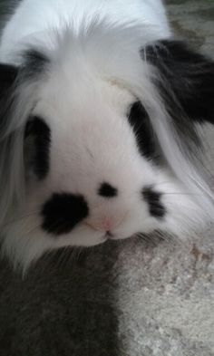 Pantuflo il mio coniglio testa di leone