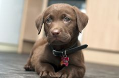 """Labrador retrievers, or """"Labs"""" as they've become fondly known, are one of the most popular dog breeds of our time. Cute Puppies, Cute Dogs, Dogs And Puppies, Doggies, Chocolate Labrador Retriever, Retriever Puppies, Labrador Retrievers, Pet Birds, Puppy Love"""