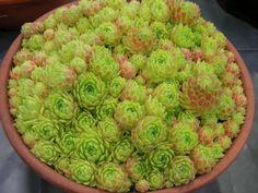 Sempervivum atlanticum - Hen and Chicks | World of Succulents
