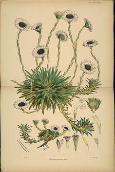 Joseph Dalton Hooker, Antarctic botany species: Celmsia vernicosa, 1847