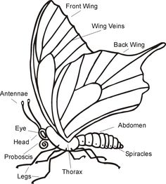 Science Worksheet - Parts of a butterfly