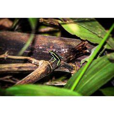 Epipedobates trivittatus #ParqueNacional del Manu , #Perú #paraiso de #biodiversidad de #reptiles y #anfibios https://blueecology.wordpress.com/2015/11/09/reserva-de-la-biosfera-de-manu-peru/  #biodiversity #wildlife #naturephotography