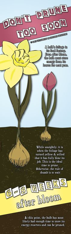 Garden Tip: Be sure to not prune your spring-flowering bulbs too soon!