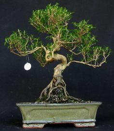 my serissa has two main trunks just like this one jardiner a en rh pinterest com wiring ficus bonsai Kingsville Boxwood Bonsai