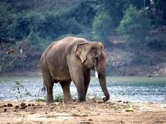 Afbeeldingsresultaat voor Indische Olifant