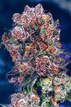 Blackberry Kush – Marijuana Strain Review  follow us: https://www.facebook.com/omdmedia  https://twitter.com/OMDAgency