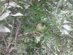 Bint Al Atlas : La grenade fruit du grenadier (Punica granatum) http://bintalatlas.blogspot.com/2015/07/la-grenade-fruit-du-grenadier-punica.html
