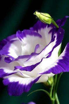 Название сорта Фламенко полностью оправдывается видом цветка - такой же красивый и захватывающий дух