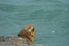 Tortuga - tartaruga - Mare - Messico