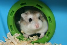 Roborovski Hamsters (Robo) or dwarf hamsters. They are very little, fast, and so cute. We have 4 of them! :)