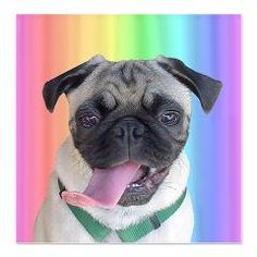 Cute Pug Rainbow Shower Curtain. Adorable picture of a little pug with her long tongue sticking out. If you like this pug design, please take a look at some of the other products available with cute pug designs.