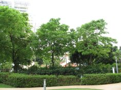 Dalbergia latifolia -  阔叶黄檀-moderate water Sun Plants, Dolores Park, Travel, Plants Sunny, Viajes, Destinations, Traveling, Trips