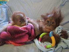 7wk old #orangutan named Rieke taken in by #Dorset's @monkey_world. It's hoped orangutan tribe adopt her. RT #toocute
