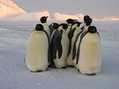 I dare you to find something cuter than a group of penguins.