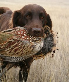 A brown Labrador Retriever brings back a pheasant for its hunting companion. Pheasant Hunting, Duck Hunting, Hunting Dogs, Archery Hunting, Hunting Birds, Grouse Hunting, Quail Hunting, Coyote Hunting, Turkey Hunting