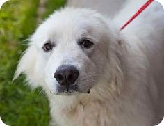 6/30/14 Washington, DC - Great Pyrenees Mix. Meet Thor, a dog for adoption. http://www.adoptapet.com/pet/11078682-washington-dc-great-pyrenees-mix