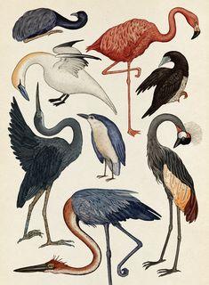 Flamingos, Storks, Ibises, Herons