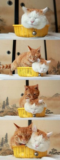 "Shironeko (かご猫, literally ""White Cat"") is a Turkish van cat,  (sometimes called Basket Cat)  and his marmalade friend... in a basket."